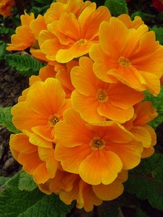 Orange Primrose 002 Primrose comes in lots of colors. If happy with half day sun will come back again and again. It is an annual though. The post Orange Primrose 002 appeared first on Easy flowers. Exotic Flowers, Orange Flowers, Amazing Flowers, Beautiful Flowers, Fleur Orange, Orange Brown, Orange Yellow, Primroses, Plantation