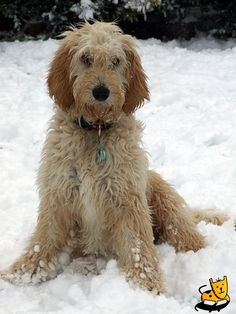 Standard Poodle cross Golden Retriever --some day I will have one of these :) and she will be SPOILED!