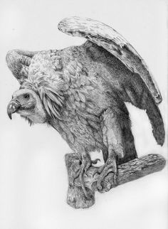 Graphite pencil commission drawing of vulture by Hannah Blowes