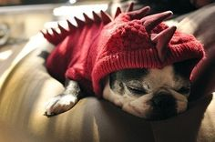 Oh you know, just a pug in a dinosaur sweater