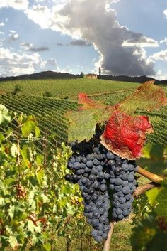 Chianti vineyard landscape in Tuscany, Italy  Stock Photo