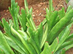 "Cotyledon orbiculata ""Takbok Green"" a very handsome cultivar"
