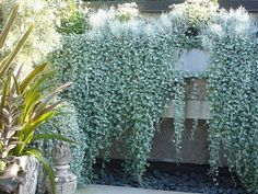 48 Delightful Cascading Planter Ideas For Small Space Gardening Silver Falls Plant, Silver Plant, Full Sun Container Plants, Container Gardening, Fall Planters, Garden Planters, Silver Falls Dichondra, Plants For Hanging Baskets, Garden On A Hill
