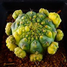 Echinopsis eyriesii f.variegata cristata - Google'da Ara