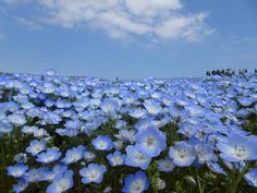 I visited Hitachi Seaside Park in Ibaraki Prefecture the other day(*´ω`*)