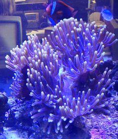 A beautiful  Heteractis magnifica anemone. From Joe Yaiullo at The Long Island Aquarium.