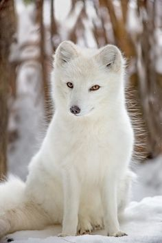 Arctic Fox by Hisham Atallah