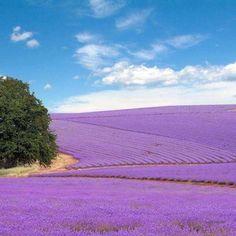Lavender fields outside of Fredericksburg, TX