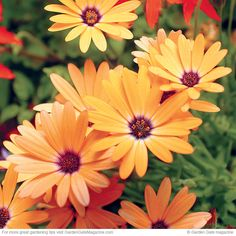 Get inspired by cape daisies | Add tons of color in spring and fall with this cool-weather lover!