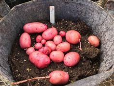 Potato projects