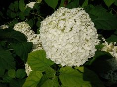Hydrangea | Annabelle Hydrangea   Hydrangea arborescens is smaller than many hydrangeas, they are around 3ft  height and spread. One of the best varieties is 'Annabelle' which is a mound forming shrub which is compact and requires little pruning. The flowers are a very showy, large and white.     Hydrangea quercifolia has large lobed leaves like oak leaves