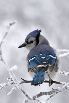 FROSTY BLUE JAY    On one of those frosty winter mornings, the blue jay really stands out in a world of white.    Photo by Darcy Sime (2011)