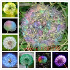 100 seeds/bag rainbow Dandelion,Taraxacum seeds,beautiful taraxacum officinale seeds,flower dandelion plants for home garden