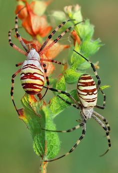 """Some-kinda Spiders (watcha macallit) ~ Miks' Pics """"Arachnids and  Insects l"""" board @ http://www.pinterest.com/msmgish/arachnids-and-insects-l/"""
