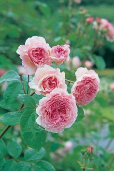 Repeat-flowering, Rosa 'James Galway' is a fabulous English Rose which produces large, double flowers, full of many neatly arranged petals. Warm pink at the heart and delicately shading to paler hues at the edges, the blossoms enjoy a medium old rose