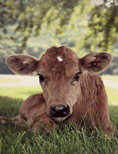 There's not much that's cuter than a baby calf.