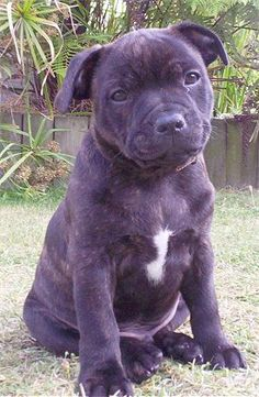 English Staffordshire Bull Terrier 1