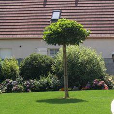 arbre pour petit jardin les vari t s petit d veloppement aub pine petits jardins et lisse. Black Bedroom Furniture Sets. Home Design Ideas