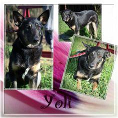 Wir suchen eine Pflege- oder Endstelle für die schüchterne Yoli!  Yoli geht im spanischen Tierheim unter dabei ist sie so eine verschmuste Maus. Sie ist nicht der Hund der sich aufdrängt sie braucht etwas Zeit um mit fremden Menschen warm zu werden. Ist das Eis erstmal gebrochen zeigt sie sich neugierig und genießt die Streicheleinheiten.  Mit anderen Hunden ist Yoli verträglich. Wir wissen leider nicht viel über sie da sie ein Fundhund ist. Geboren wurde sie ca. 03.2016. Yoli ist geimpft…