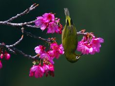 Japanese White-Eye...Many parts of the world celebrate the opening of cherry blossoms as the first sign of spring. Okinawa is the first place in all of Japan to see them bloom...