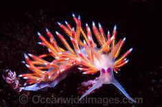 "Wonder if this one knows she is called ""flabellina""? (snicker). Do these spikes make me look fat?"
