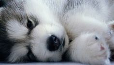 Pomsky... :) my-boyfriend-should-give-me-this