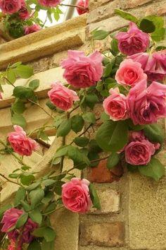 Beautiful climbing Rose graces an old stone wall!