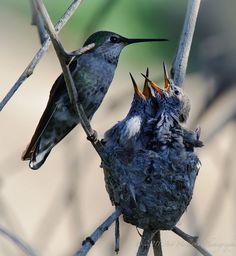 Mama Hummingbird with the Babies. :)