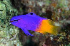 Gramma loreto, vernáculamente pez abuela real, loreto o merito rabirrubio, es un pez caribeño del Océano Atlántico, de color púrpura y amarillo. Llega a medir un máximo de 5 pulgadas, muy fuerte, omnívoro.  Se encuentra en aguas cálidas del trópico, en proximidades de bancos de coral y a profundidades de 1 a 40 metros. Se alimenta de ectoparásitos de otros peces.1