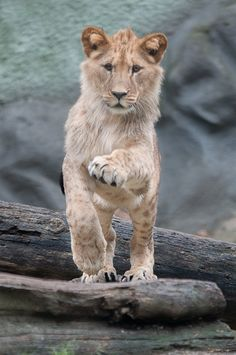 ~~Rhinestone Eyes | Lion Cub by fgw-photography~~
