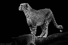 Cheetah Standing on a Knoll in Black & White. (by Wolf Ademeit).