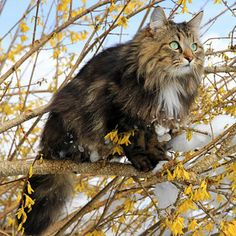 Norwegian Forest Cat - Country of origin: Norway This badass little kitty is as tough as nails. Any cat hearty enough to travel the high seas with the Vikings must be exceptionally energetic and fiercely loyal.