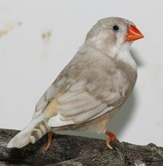 Zebra Finch Mutations | Zebra Finch Color Mutation? I Cannot Figure Out What She Is.