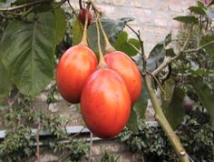 Árbol de los tomates, Árbol del tomate, Tomate arbóreo del Perú, Tamarillo, Tamarillos, Tomate de árbol, Tomates de árbol