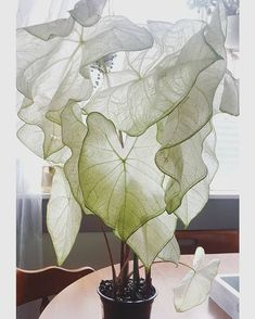 moonlight caladium 🌙 adding this beauty to my plant wish list - Indoor Plants. - moonlight caladium 🌙 adding this beauty to my plant wish list – Indoor Plants and Floral Arran -