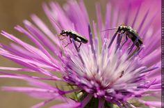 Fotografie Matthias Schneider – Zwei Käfer auf Distelblüte