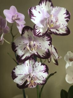 Moth Orchid, Phalaenopsis Orchid, Orchid Flowers, Unusual Flowers, Amazing Flowers, Rare Orchids, Purple Orchids, Types Of Orchids, Orchids Garden