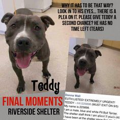 ***CRITICAL!!!! NO! HE IS NOT JUST A NUMBER!! EUTH LISTED! EXTREMELY URGENT! TEDDY - #A1225898 Look in to his eyes... There is so much feeling in it. is this a number for you? My name is 225898. I am a male, blue and white Pit Bull Terrier. The shelter staff think I am about 2 years old. I have been at the shelter since Sep 01, 2015. Riverside County Animal Control - City of Colton at (951) 358-7387 Jurupa Valley, CA