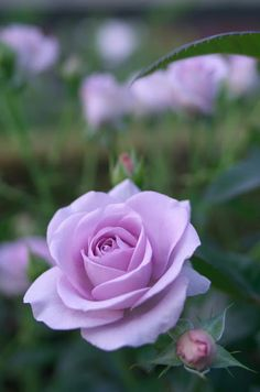 Captivating Why Rose Gardening Is So Addictive Ideas. Stupefying Why Rose Gardening Is So Addictive Ideas. Amazing Flowers, Beautiful Roses, My Flower, Beautiful Flowers, Beautiful People, Foto Rose, Rose Reference, Purple Roses, Soft Purple