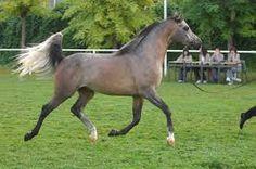 Bildergebnis für arabian horse trot