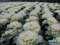 Frozen flowers because of snow in China