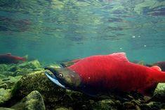 alskin pink salmon