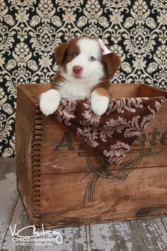 AWESOME AUSSIES - Australian Shepherd Puppy!