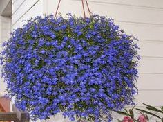 Image result for flower pots with lobelia