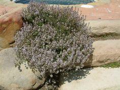 Thymus praecox articus 'Purple Carpet'
