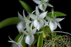 Angraecum leonis | Flickr - Photo Sharing!