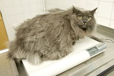 PDSA Pet Fit Club finalist Maverick, a long haired cat from Edinburgh weighing 10.2kg.. by PDSA, via Flickr