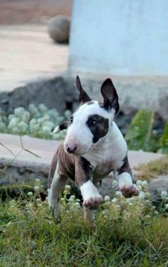 once u love a bull terrier - no other #dog is quite as cute ever again -