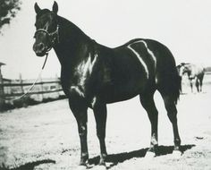 """Poco Bueno. The English translation reads, """"pretty good."""" It is a wishy-washy complement for one of the most influential sires of the 1940s, '50s and '60s. Poco Bueno was inducted into the Hall of Fame in 1990. Learn more about the AQHA Hall of Fame inductees at http://aqha.com/Foundation/Museum/Hall-of-Fame/Hall-of-Fame-Inductees.aspx ."""