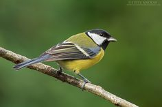 Great Tit by Steve Mackay - Photo 127934003 - 500px